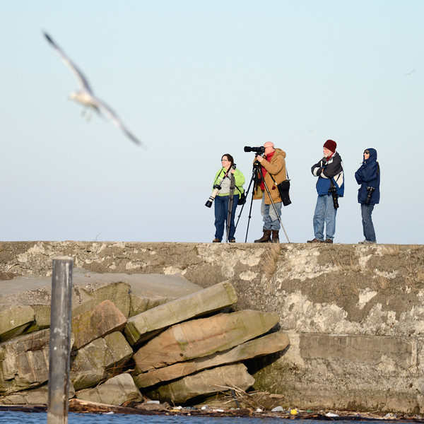 Photographers shooting the Snowy Owl