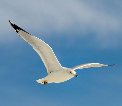Gull flying over Edgewater Park
