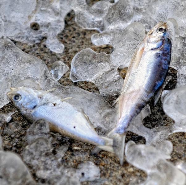 Frozen Fish at Gordon Park