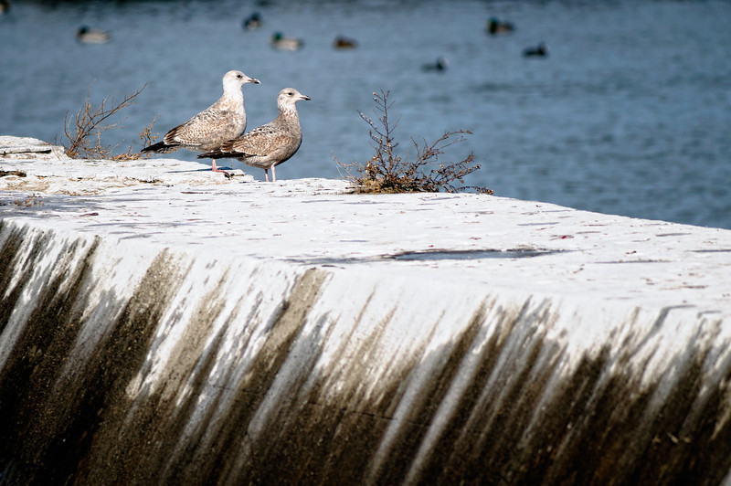 Gulls at Gordon Park
