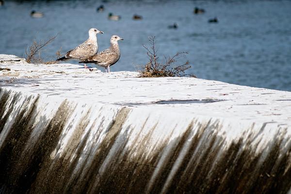 Gulls at Gordon Park