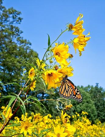 Huntington Butterfly Field
