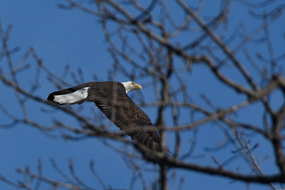 Eagles at the Ohio and Erie Canal Reservation