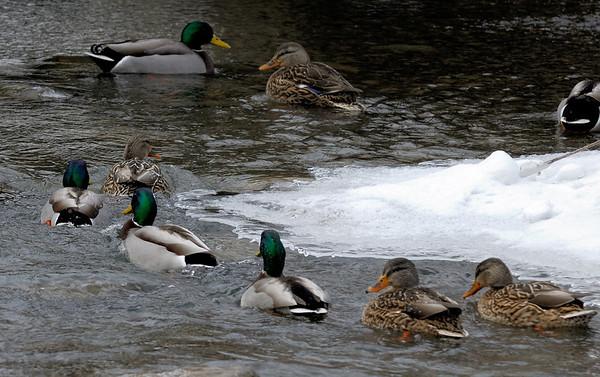 Ducks - Hinckley Lake