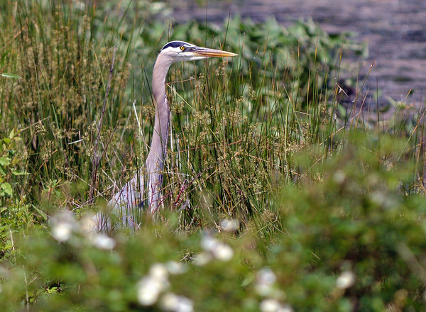 Blue Heron - Sandy Ridge Reservation