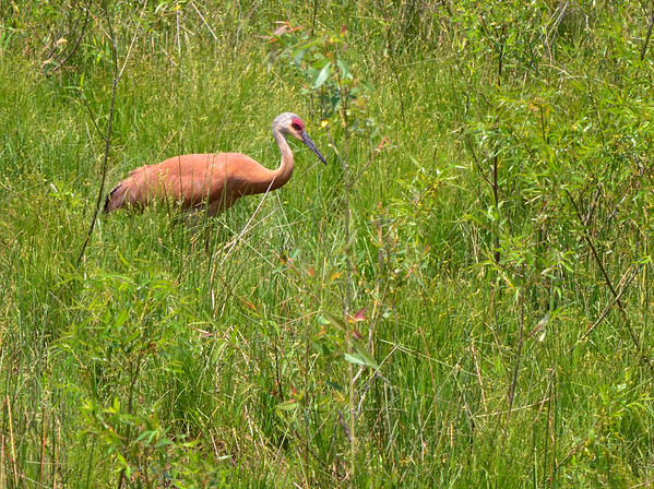 Sandhill Crane - Sandy Ridge Reservation