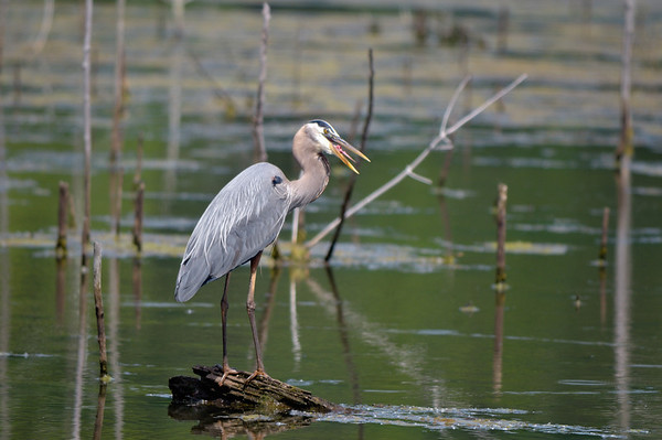 Blue Heron - Sandy Ridge Reservation