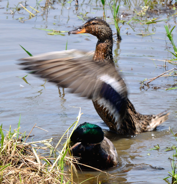Duck Flapping Wings - Sandy Ridge Reservation