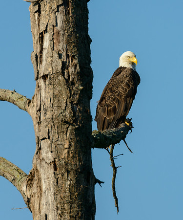 Eagle at Sandy Ridge