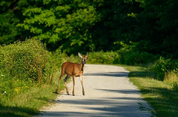 Deer at Sandy Ridge