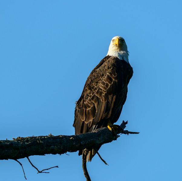 Eagle at Sandy Ridge