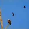 Red-winged Blackbird harass an Eagle