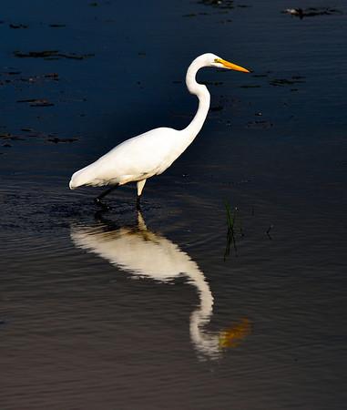 Egret at Sandy Ridge