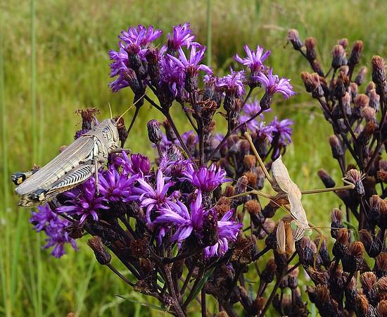 Grasshopper and Preying Mantis