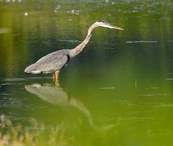 Blue Heron at Sandy Ridge