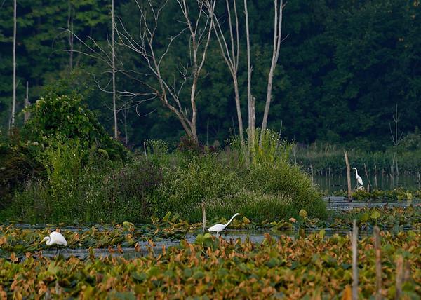 Three Egrets at Sandy Ridge
