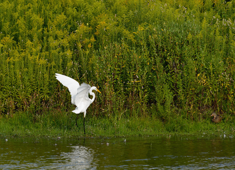 Egret coming in for a landing