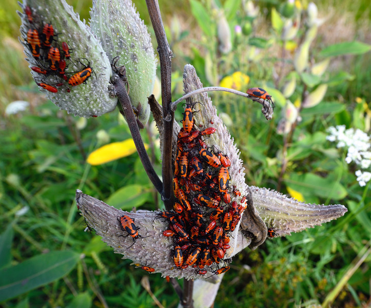Milkweed Bugs