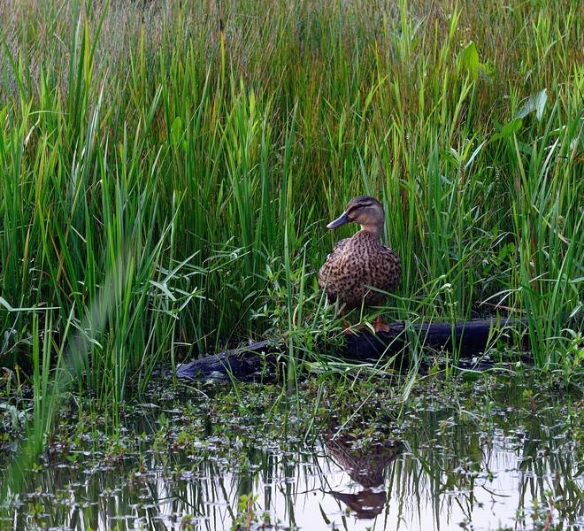 Duck at Sandy Ridge
