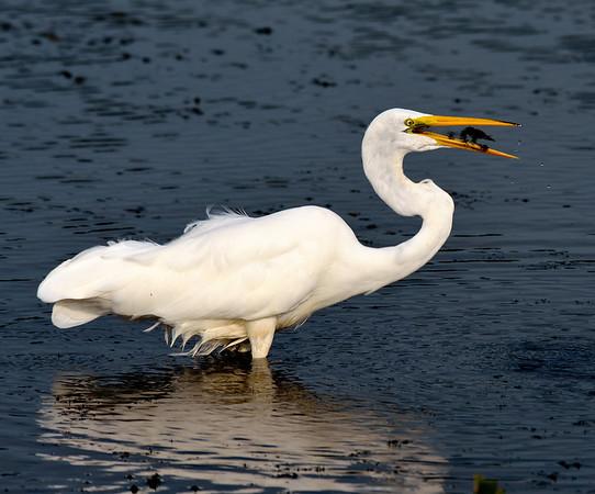 Dinnertime for the Egret at Sandy Ridge