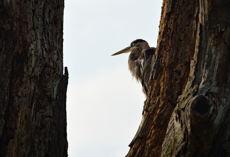 Heron at Sandy Ridge