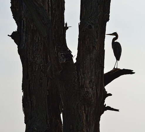 Silhouette of a Heron at Sandy Ridge