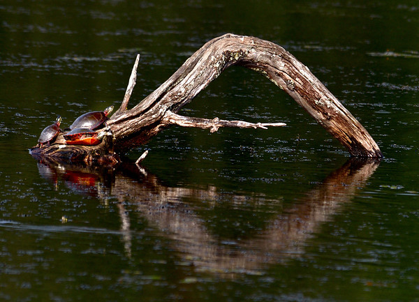 Sun bathing Turtles