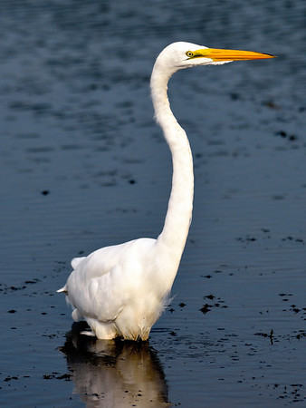Egret at Sandy Ridge