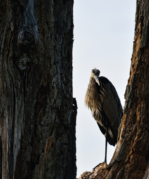 Heron standing in a tree at Sandy Ridge