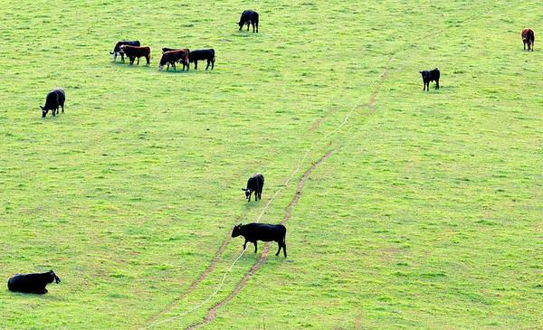 Cow crossing the line - Mt Jeez