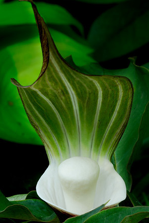 Japanese Jack in the Pulpit