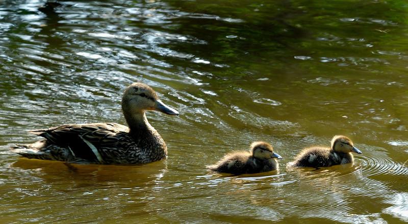 Ducks on the pond.