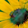 Pollen Coated Bee