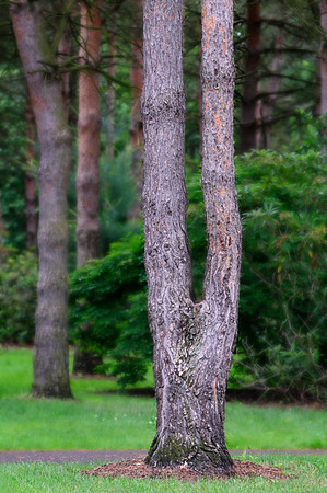 The Tuning Fork Tree - Schoepfle Gardens
