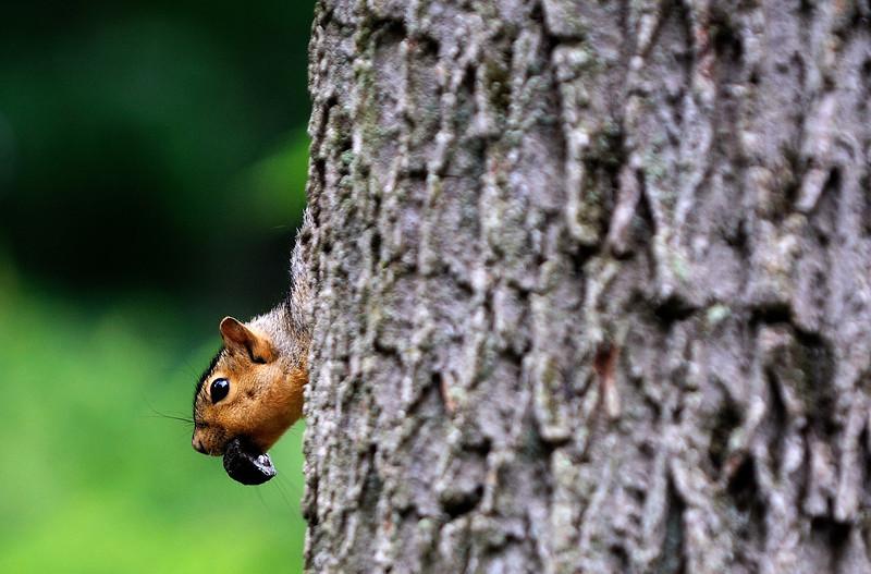 Squirrel at Schoepfle Gardens