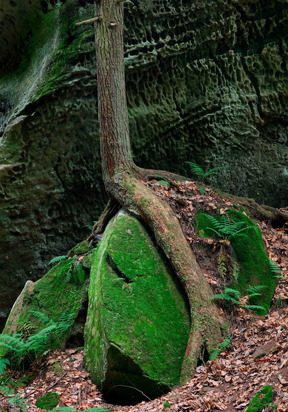 Tree Growing over a Rock - Conkle's Hollow