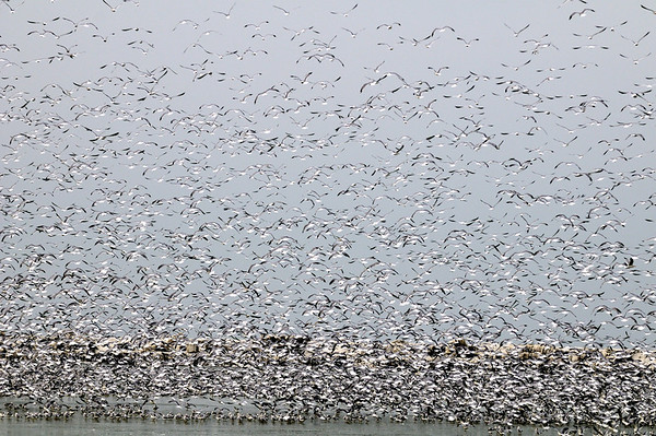 Lake Erie Gulls