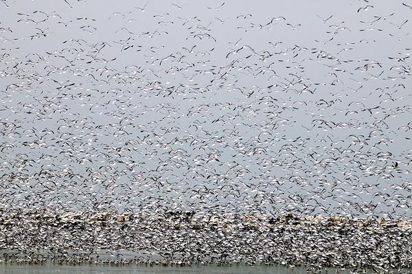 Lake Erie Gulls