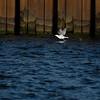 Gull on Lake Erie