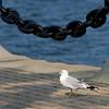 Ring-billed Gull - Voinovich Park - Cleveland Oh
