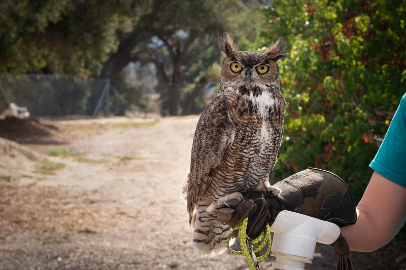Bailey, a Great Horned Owl