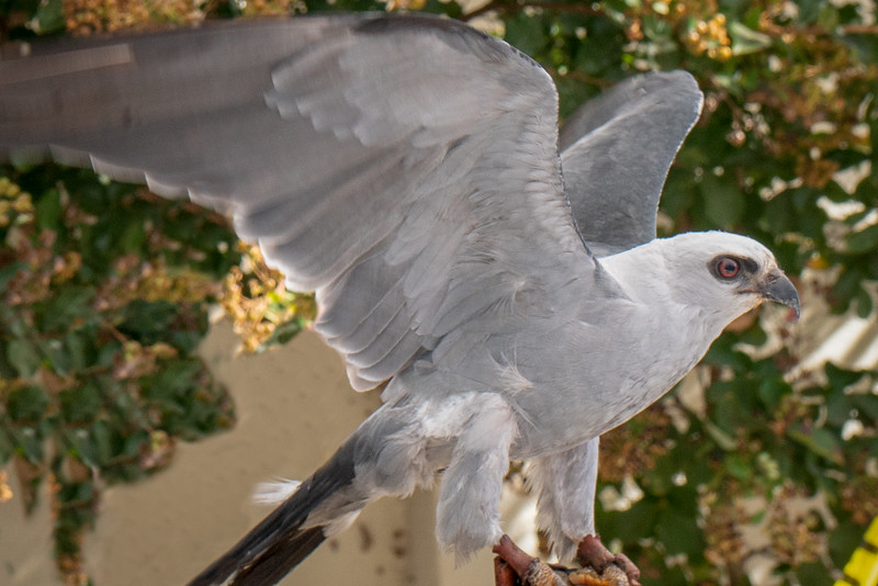 A Mississippi kite named Miki