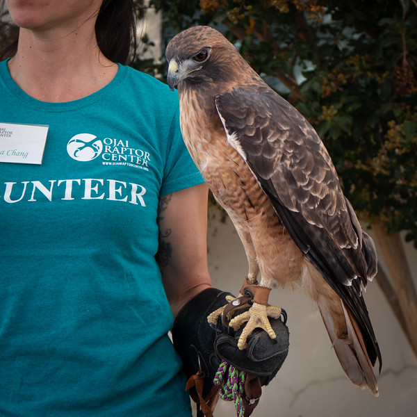 Rosie, the red-tailed hawk