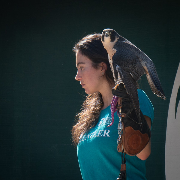 Gavin, a Peregrine Falcon, with his volunteer as they present a show on stage