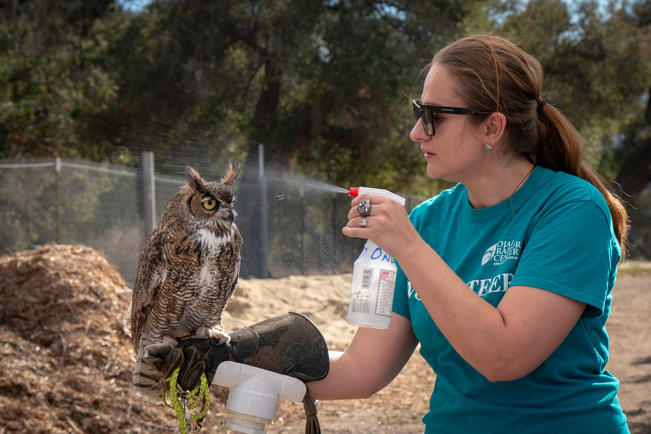 Bailey, a Great Horned Owl, getting a cooling spritz
