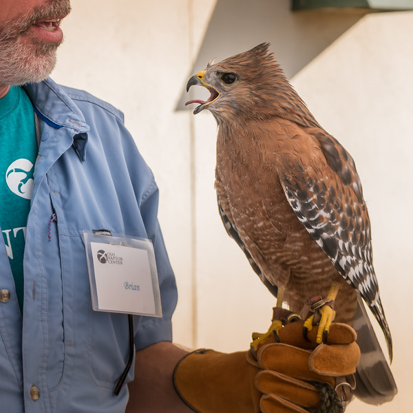 Red, a red-shouldered hawk, feeling a bit warm and stressed