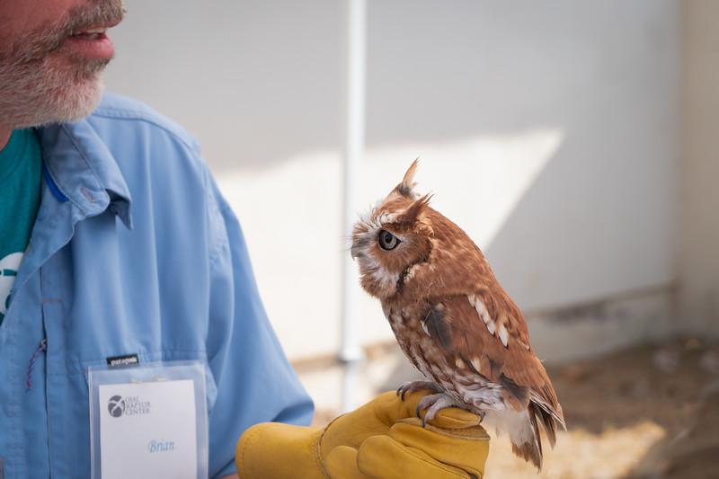 Riley, an Eastern Screech Owl