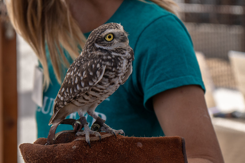 Topper, a Burrowing Owl