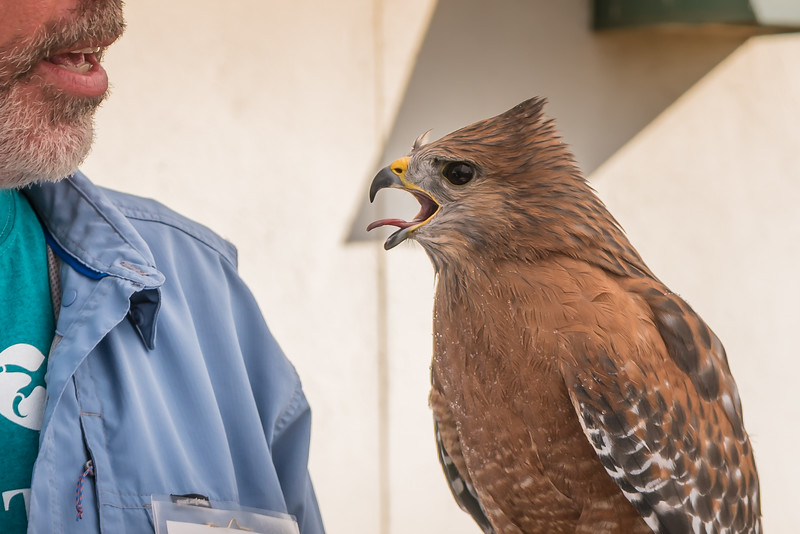 Red, a red-shouldered hawk, detail