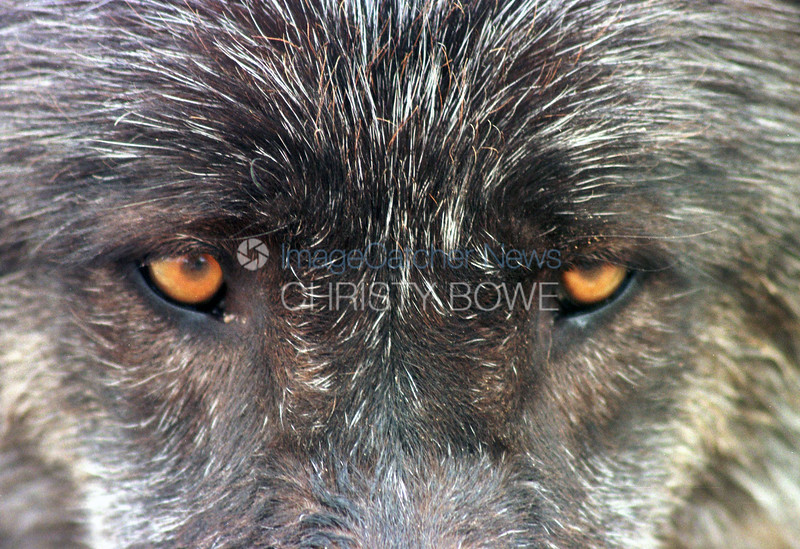 9/9/99<br /> Wolf Mountain Sanctuary<br /> Luceren Valley, California<br /> <br /> Dakota, a British Columbian Black Wolf, looks into the eyes of the photographer.<br /> photo by Christy Bowe / ImageCatcher News / PHOTOlink